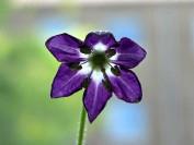 Capsicum pubescens information